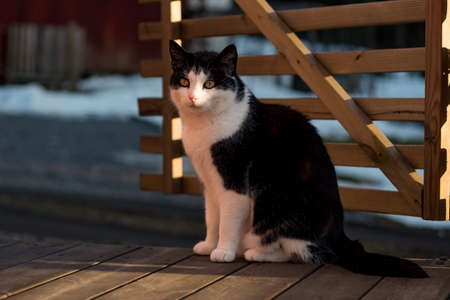 a black and white cat in evening sun