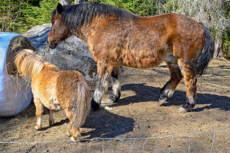 big and small horse eating together in harmony