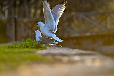 a pair of seagulls mating in city centre