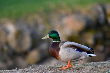 a lonly mallard standing near water in Filipstad Stock fotó