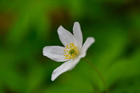 wood anemone flower alone with green background