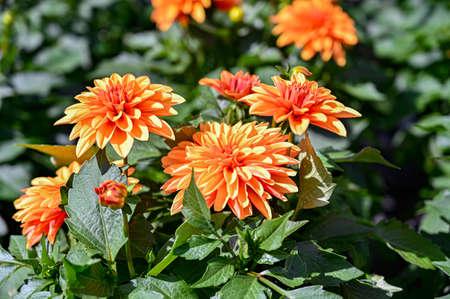 Dalia arancione fiori in una casa verde in Svezia