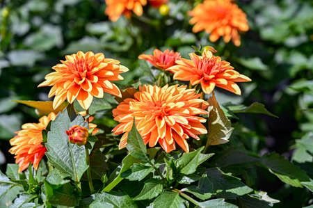 orange dahlia flowers in a green house in Sweden