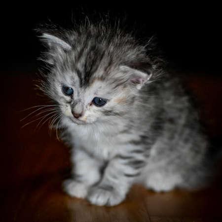 sibirian cat young kitten in a swedish home 免版税图像