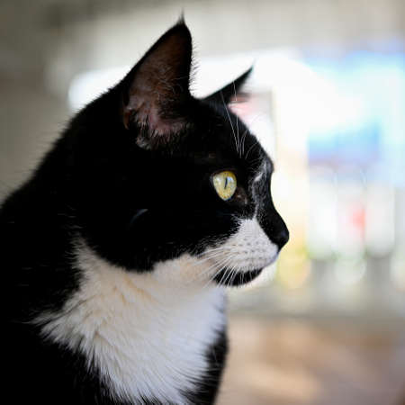 black and white domestic cat sitting inside looking out