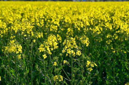 yellow rapeseed field in Kumla Narke Sweden