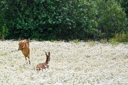 two roe deers running and jumping away over a field i Hallabrottet Kumla Sweden summer of 2020 Reklamní fotografie - 151094913