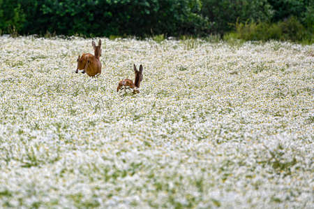 two roe deers running and jumping away over a field i Hallabrottet Kumla Sweden summer of 2020
