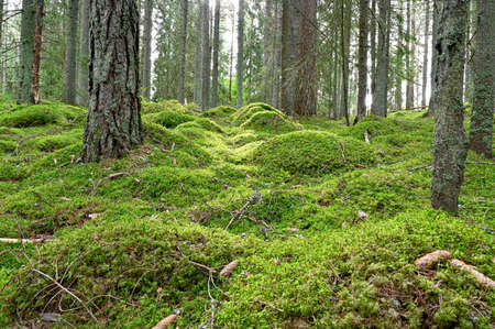 backlight through forest with green moss floor Stock Photo