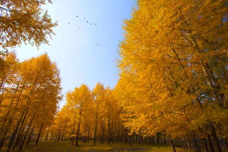 Autumn trees in Inner Mongolia