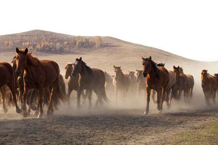mongolia horse: A herd of horses running in Inner Mongolia