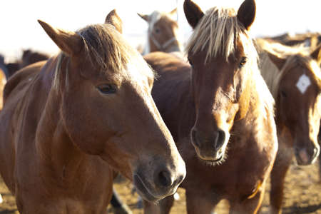 Horses in a ranch in Inner Mongolia LANG_EVOIMAGES