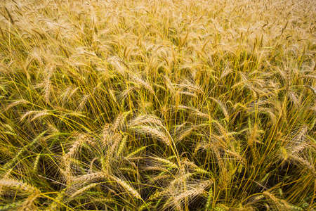 hebei province: Wheat field in Hebei province, China