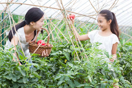 Young mother and daughter picking tomatoes in greenhouse
