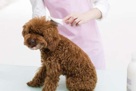 groomer: Groomer with a cute poodle LANG_EVOIMAGES