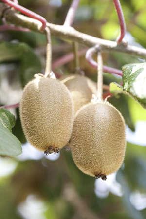 Kiwi fruit on tree LANG_EVOIMAGES