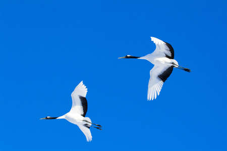 move in: Japanese cranes in flight LANG_EVOIMAGES