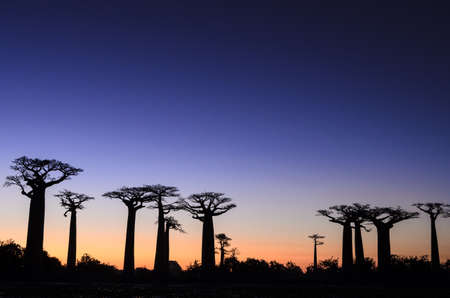 africa baobab tree: Baobab Trees Silhouetted against Setting Sun,Madagascar