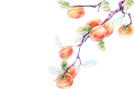 persimmon tree: Persimmon tree LANG_EVOIMAGES