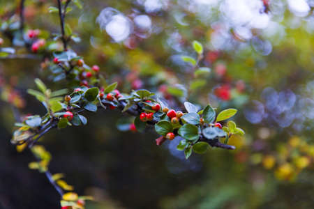 crab apple tree: Tree with red fruit