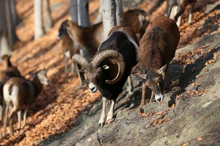 mouflon: Mufflon, Mouflon, Ovis orientalis