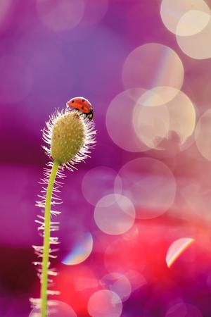 Small cute ladybug on poppy pitch