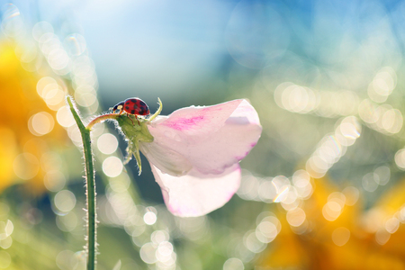 Small Red Ladybug loves the flowers of the morning sun.