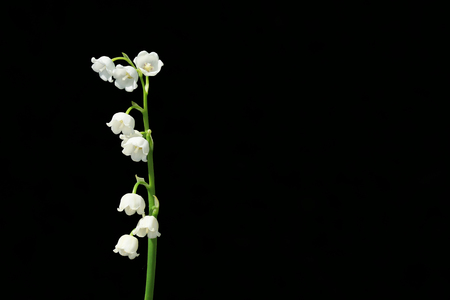 Lily of the valley, is a beautiful flower in the garden. Banque d'images