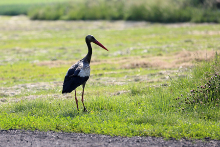 A dirty stork is sitting in a meadow and looking for food