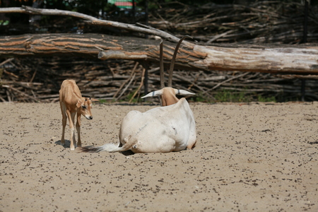 A large female of Oryx with the young 写真素材
