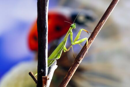 Green mantis is a predator, it hunts for small and large insects is green