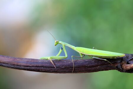 The European Mantis is an invasive species that enters Europe