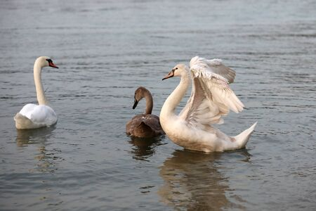 The white swan scares off intruders from its young. Standard-Bild