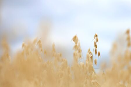 Oats rarely grown for cereals by farmers. Standard-Bild