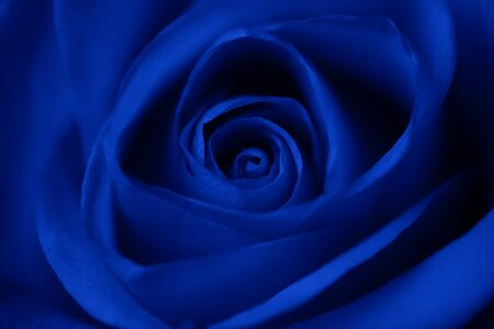 Rose flower in blue as background