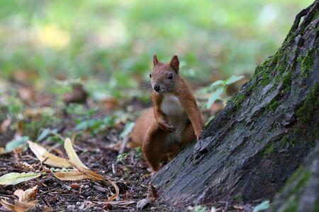 Little red squirrel in the park Standard-Bild