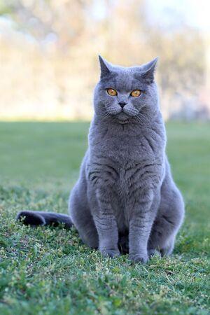 English cat poses for outdoor photos. Standard-Bild