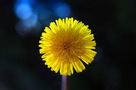 Yellow dandelion flower on a black background