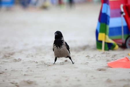 Black bird is looking for food on the beach Standard-Bild