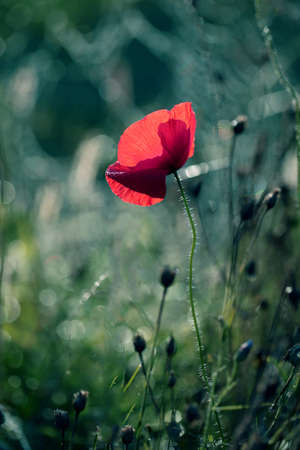Photo of poppies as a background for your design.