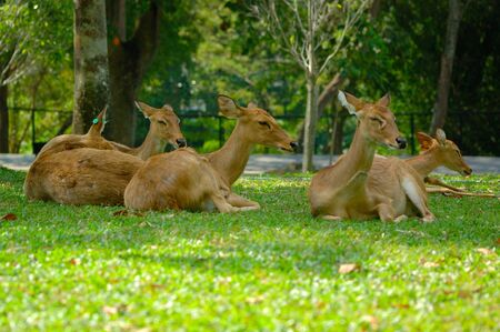 brow antlered deer at khao kheow open zoo thailand photo
