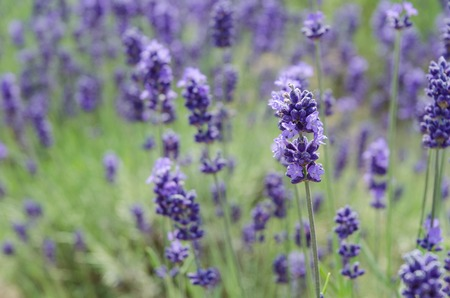biei: Close up lavender field in summer at biei hokkaido Stock Photo