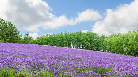 flores moradas: Lavender field in summer at furano hokkaido