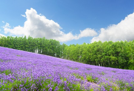Lavender field and blue sky in summer at furano hokkaido japan