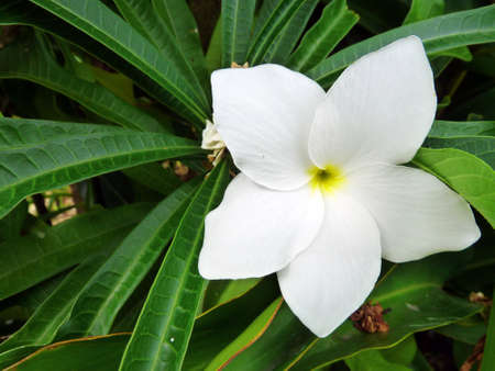 Frangipane Tiar White Tropical Flower