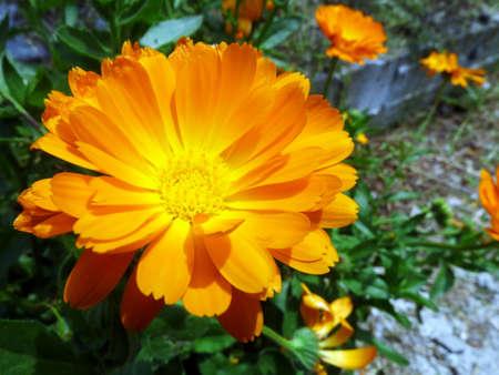 Gerbera Orange Spring Flower
