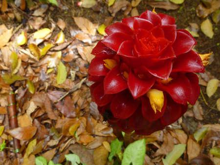 alpinia: Red Ginger Alpinia purpurata Tropical flower