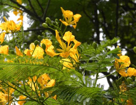 yellow flamboyant-flame tree