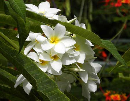 Frangipane-tiaré flower                                Stock Photo