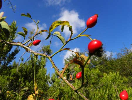 ramping: Thorny berries                                Stock Photo
